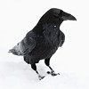 Raven standing in snow, head turned to viewer's right, falling snow in picture.