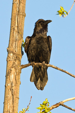 Raven in tree, head feathers chuffed up