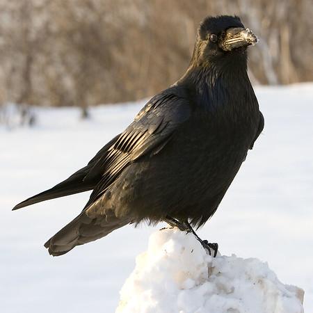 Raven on snow, head slightly turned