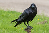 Juvenile raven on water shut off.