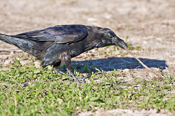 Raven, on ground, tugging at a twig.