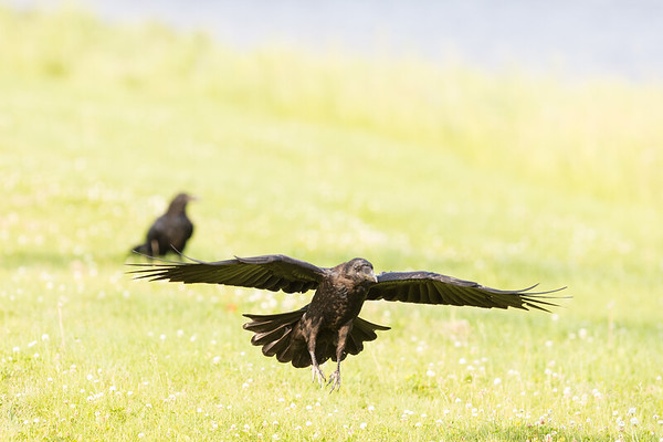 Juvenile raven landing on grass, another juvenile in background (out of focus).