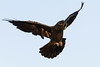 Common raven, in flight, wings outstretched.