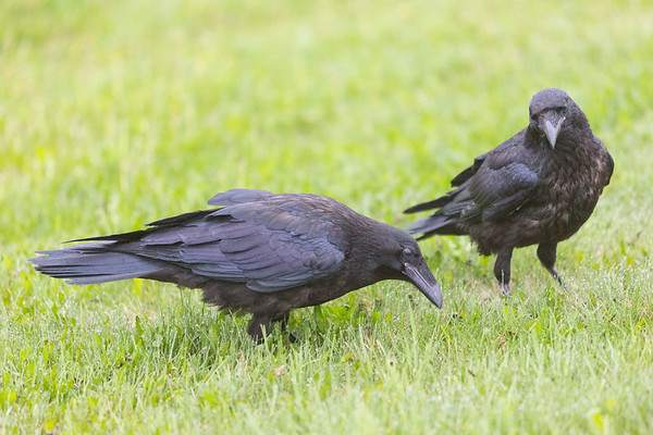 Two juvenile ravens in grass.