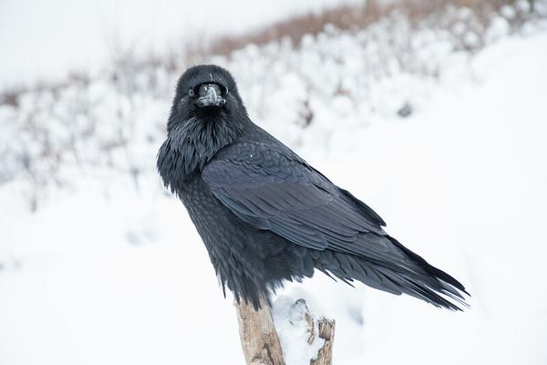 Raven looking at camera.