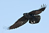 Raven in flight, wings outstretched, feet down.