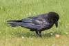 Adult raven examining an egg. Feathers chuffed up around head.