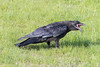 Juvenile raven in the grass with beak open.