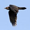 Raven in flight,side view, wings down.