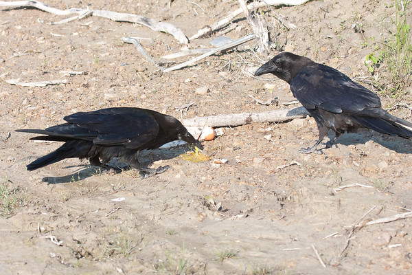 Two ravens, adult eating broken egg on ground, juvenile watching (right). Part of tale of juvenile out of frame.