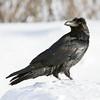 Raven on snow, head turned