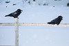 Ravens on the fence.