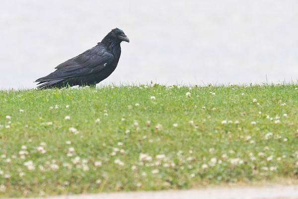 Raven in the rain.