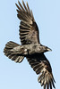 Raven in flight, wings outstretched, wing tips out of frame.