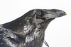 Raven, head shot. Yellow on beak from eating egg yolk.
