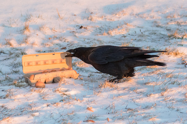 Raven operning a carton of eggs.