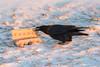 Raven operning a carton of eggs.