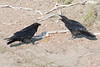 Two ravens, adult eating broken egg on ground, juvenile watching/begging (right)