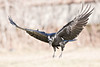 Raven in flight, descending to ground, wings out, feet down, head angled down.