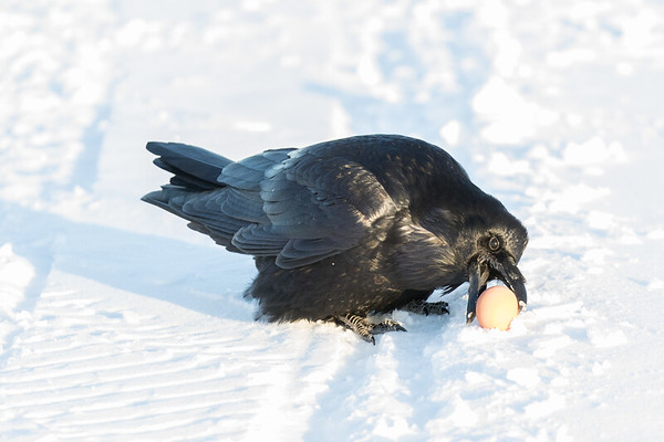 Raven picking up an egg from the snow.