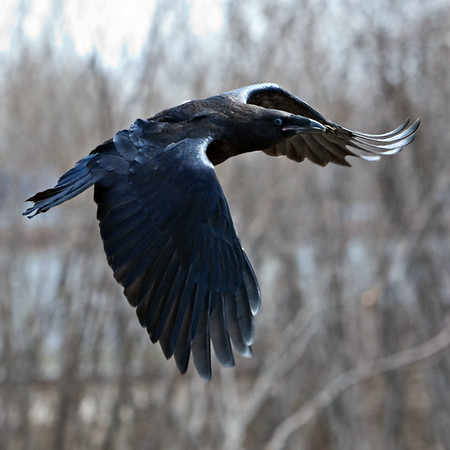 Juvenile raven in flight, one wing down