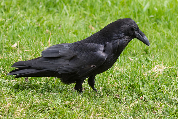 Raven in the grass, nictating membrane partially closed over eye.