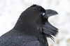 Raven headshot at public dock site. Nictating membrane closed.
