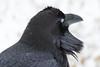 Raven headshot at public dock site. Nictating membrane closed.