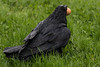 Wet raven on the grass picking up an egg.