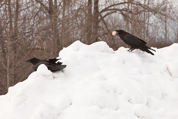 Raven(s) at Moosonee train station.