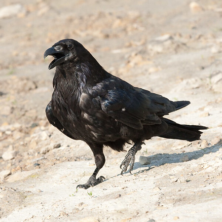 Raven walking on clay, one foot slightly off ground, beak partially open