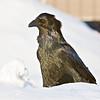 Raven standing on snow