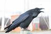 Raven croaking on railing post.