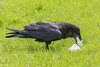 Adult raven eating lard.