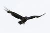 Raven, in flight, wings out, beak open.