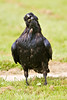 Raven walking, head tiled and partially turned up, beak slightly open