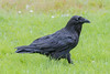 Raven with nictating membrane over eye walking on grass.