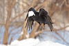 Raven in flight, lard in beak. Just took off, snow falling.