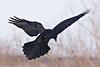 Raven preparing to land, view from behind and to bird's right