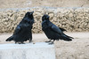 Two ravens looking. Public docks site in Moosonee. One with nictating membrane over eye.