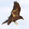 Raven in flight, feet down, wing up.