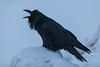 Raven calling out on a cold morning. 2016 December 17th.