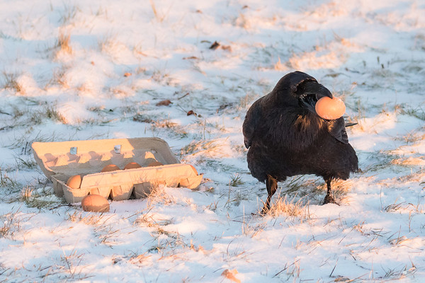Raven carries an egg away from carton on the snow.