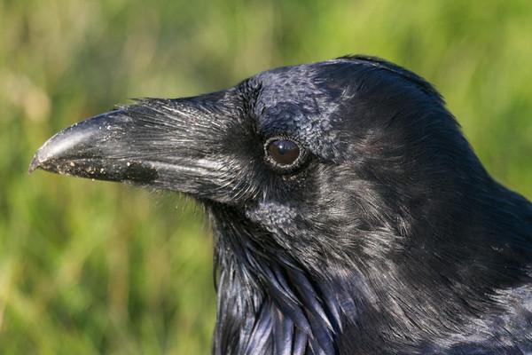 Raven headshot.