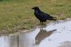 Raven reflected in water along Revillon Road in Moosonee, Ontario.