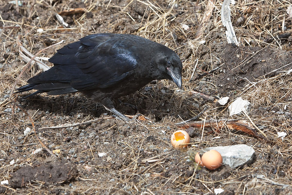 Juvenile raven looking at eggs that had been eaten by adult. Juvenile did not eat the eggs.