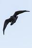 Raven in flight, banking, wings bent.
