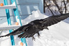 Raven in flight with wings outstretched.