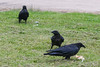 Adult raven with pastry approached by two juveniles.