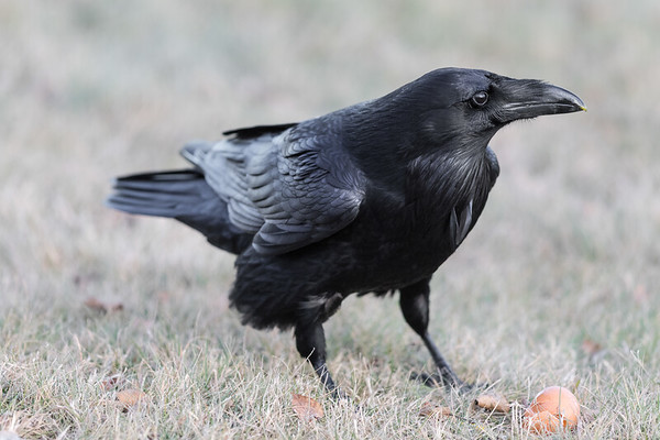 Raven on the ground near an egg.